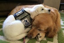 WCC & ECAD Service Dogs / Service dogs in training for soldiers. Warrior Canine Connection & Educated Canines Assisting with Disabilities.