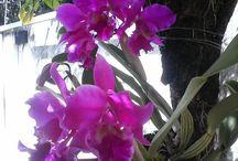 orquídeas que eu cultivo