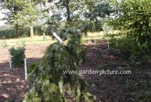 Conifers 2 / Fastigiata and weeping cultivars