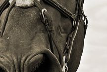 Equestrian / A board devoted to the elegant and social creature we call the Horse.
