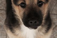 --ADORABLE & DISTINCTIVE DOGS-- / Cute, lovable, adorable dogs.... Mainly Labs/Shepards...