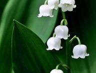 Müge çiçekleri...