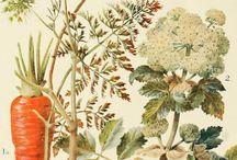 Botanical Scientific Illustrations
