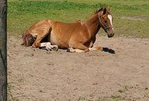 Paarden / Hier staan foto's van paarden onder andere van: mijn lievelingen, waar ik op gereden heb, en lievelings ras