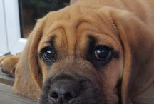 Teddy Bear / our gorgeous little puggle