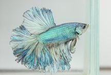 Mah fish! / I like looking at pretty fish to help me feel calm.
