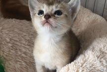 Abessijn kittens: Neves en Galo / Abessijn kittens