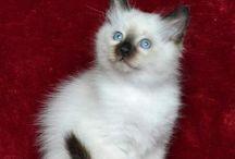 Birman kittens for sale
