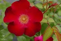 New Rose Varieties / Stay here to see the newest rose varieties in your local garden center.