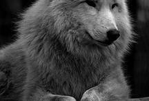 Wolf ❤
