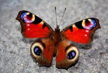 Schmetterling pfauenauge