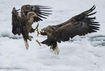Sea Eagles - Masters of The Sky / I would like to share a few images of my Sea Eagles captured during my trip to Japan. It was such a great experience, the place is nuts!!!  I beard witness to these incredible interactions between Steller's Sea Eagles and White Tailed Sea Eagles as they fight with one another on the pack ice off the Northern coast of Hokkaido. It was three days of action packed photography.