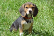 For the Love of Beagles / I have two. They own me.