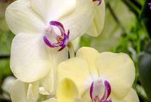 Orchideeën - ORCHIDS