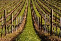 vigneto uva vino