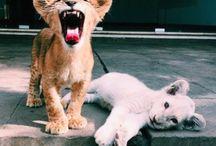 zwierzęta - lew