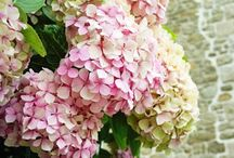 Hydrangeas, my favorite (hortensia) /  Hydrangeas seem to be a favorite with everyone.  See my other boards, Hydrangeas II and Hydrangeas III / by Anne Watson