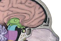 Werking van de hersenen / werking, stoornis, training, cognitieve revalidatie