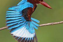 Kingfisher / Verschillende soorten ijsvogels