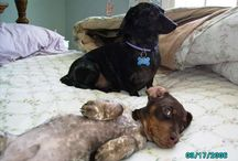 Doxie's <3