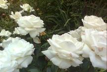 ROSES! / Jeune rosomane grandit... / by Mafalda