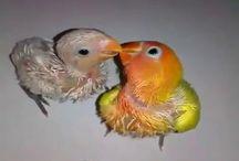 Tips Beternak Lovebird