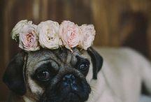 Pugs! !!
