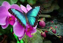 Butterflys / Butterfly