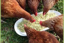 Chicken Stuff