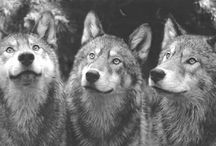 """Animals ~ """"Wolves in the Wild"""" ~"""