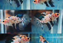 Beautiful Betta fish