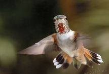 humming birds two