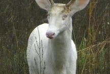 deer, elk, moose, horn ornaments, antlers, head gear