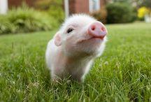 I Love Pigs / by Lauren Mann