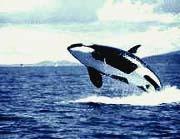 Alaska Whale Watching Tours / Alaska Whale Watching Tours
