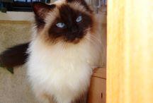 Race de Chats - Cat breed
