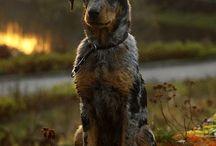 I ❤️ Beauceron / Beauceron  French Sheep Dog