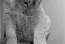 Christian the lion / Lion / by Adeline Shell