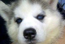 Jual Anjing Siberian Husky TOP QUALITY