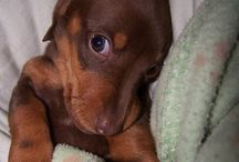 Cachorros De Perro Salchicha