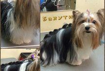 косы собаке