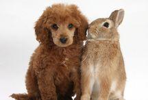 Miniture poodle