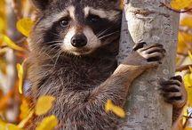 Raccoon gang