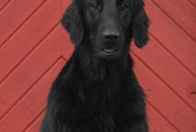 Our flatcoated retrievers
