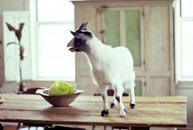 Got This Thing About Goats