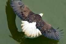 Arend / Kraaien vliegen in groepen en de Arend vliegt alleen