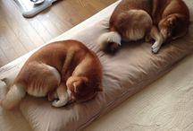 柴犬(Shiba inu)