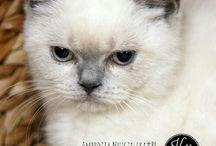 British Cats / British Cats from polish cattery MRUCZALSCY*PL