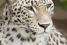 African Animals / Leopard Spots and Cheetah Dots, Lion Mains and African Plains
