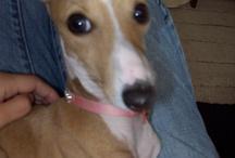 Italian Greyhounds / I want a puppy! / by Lura Barua